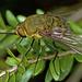 Eristalopsis wrightae - Photo (c) tjeales, μερικά δικαιώματα διατηρούνται (CC BY-SA)
