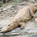 Mugger Crocodile - Photo (c) Paul Asman and Jill Lenoble, some rights reserved (CC BY)