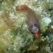 Lepadogaster purpurea - Photo (c) Julien Renoult, algunos derechos reservados (CC BY)