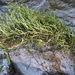 Podostemum ceratophyllum - Photo (c) Sean Blaney, algunos derechos reservados (CC BY-NC)
