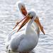 Pelícanos - Photo (c) Steven Mlodinow, algunos derechos reservados (CC BY-NC)