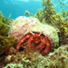 Left-handed Hermit Crabs - Photo (c) Richard Ling, some rights reserved (CC BY-NC-SA)