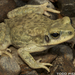 Dhofar Toad - Photo (c) 2011 Todd Pierson, some rights reserved (CC BY-NC)