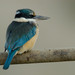 New Zealand Kingfisher - Photo (c) puketapu, some rights reserved (CC BY-NC)