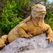 Iguana Terrestre de Barrington - Photo (c) John D Reynolds, algunos derechos reservados (CC BY-NC)