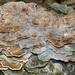 Hypomyces polyporinus - Photo (c) John Plischke,  זכויות יוצרים חלקיות (CC BY-NC-SA)