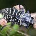 Lampetis dilaticollis - Photo (c) Mauricio Velazquez, algunos derechos reservados (CC BY-NC)