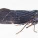 Cedusa incisa - Photo (c) solomon hendrix,  זכויות יוצרים חלקיות (CC BY-NC)