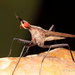 Neriidae - Photo (c) Ted MacRae, osa oikeuksista pidätetään (CC BY-NC-ND)