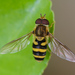 Hover Flies - Photo (c) Tracey Fandre, some rights reserved (CC BY-NC-ND)