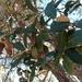 Quercus sideroxyla - Photo (c) Carlos G Velazco-Macias, alguns direitos reservados (CC BY-NC)
