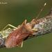 Gonocerus acuteangulatus - Photo (c) Marcello Consolo, algunos derechos reservados (CC BY-NC-SA)