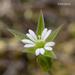 Stellaria nitens - Photo (c) 2007 Keir Morse,  זכויות יוצרים חלקיות (CC BY-NC-SA)