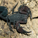 Tityus sabinae - Photo (c) Christian Daniel Martinez Rodriguez, alguns direitos reservados (CC BY-NC)