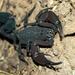Tityus sabinae - Photo (c) Christian Daniel Martinez Rodriguez, algunos derechos reservados (CC BY-NC)