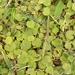 Hydrocotyle exigua - Photo (c) Kasten, some rights reserved (CC BY-NC)