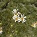 Celmisia sessiliflora - Photo (c) Leon Perrie, algunos derechos reservados (CC BY-NC)