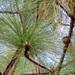 Longleaf Pine - Photo (c) Katja Schulz, some rights reserved (CC BY)