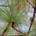 Longleaf Pine - Photo (c) Katja Schulz, some rights reserved (CC BY)