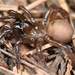 Foldingdoor Spiders - Photo (c) Marshal Hedin, some rights reserved (CC BY)