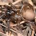 Antrodiaetidae - Photo (c) Marshal Hedin, algunos derechos reservados (CC BY)