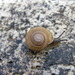 Granite Shoulderband Snail - Photo (c) davegoodward, some rights reserved (CC BY-NC)