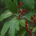Sassafras - Photo (c) dogtooth77, some rights reserved (CC BY-NC-SA)