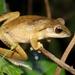 Polypedates megacephalus - Photo (c) Thomas Brown, algunos derechos reservados (CC BY-NC-SA)