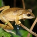 Brown Tree Frog - Photo (c) Thomas Brown, some rights reserved (CC BY-NC-SA)