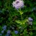 Palmleaf Mistflower - Photo (c) Josh*m, some rights reserved (CC BY-NC-SA)