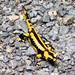 Salamandra salamandra terrestris - Photo Emilisha, δεν υπάρχουν γνωστοί περιορισμοί πνευματικών δικαιωμάτων (Κοινό Κτήμα)
