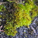 Blindia acuta - Photo (c) Andrew Simon, algunos derechos reservados (CC BY-NC)