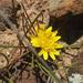 Geigeria burkei - Photo (c) Casper van Zyl, alguns direitos reservados (CC BY-NC)