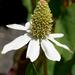 Anemopsis californica - Photo (c) James Gaither,  זכויות יוצרים חלקיות (CC BY-NC-ND)