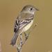 Alder Flycatcher - Photo (c) Mark Dennis, some rights reserved (CC BY-NC)