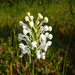 Platanthera blephariglottis - Photo (c) 105765855306768214862,  זכויות יוצרים חלקיות (CC BY-NC-SA), uploaded by Jody