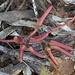 Eucalyptus extensa - Photo (c) Loxley Fedec, μερικά δικαιώματα διατηρούνται (CC BY-NC)