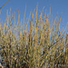 Ephedra californica - Photo (c) Elaine with Grey Cats, μερικά δικαιώματα διατηρούνται (CC BY-SA), uploaded by Judith Bush