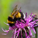 Bombus sporadicus - Photo (c) Leonid, algunos derechos reservados (CC BY-NC)