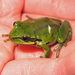 Pacific Treefrog - Photo (c) Greg Schechter, some rights reserved (CC BY)