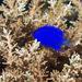 Chrysiptera - Photo (c) 104623964081378888743, algunos derechos reservados (CC BY-NC-SA), uploaded by David R
