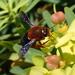 Megachile sicula - Photo (c) Stefan, algunos derechos reservados (CC BY-NC)
