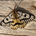 Nuttall's Sheep Moth - Photo (c) ljtews, some rights reserved (CC BY-NC)