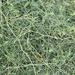 Rubus squarrosus - Photo (c) Jon Sullivan, algunos derechos reservados (CC BY)
