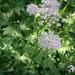 Chaerophyllum hirsutum - Photo (c) Meneerke bloem,  זכויות יוצרים חלקיות (CC BY-SA)