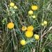 Helichrysum setosum - Photo (c) Paolo Candotti, algunos derechos reservados (CC BY-NC)