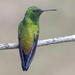 Copper-rumped Hummingbird - Photo (c) Oswaldo Hernández, some rights reserved (CC BY-NC)