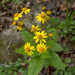 New England Ragwort - Photo (c) Susan Elliott, some rights reserved (CC BY-NC)