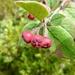 Cotoneaster integerrimus - Photo (c) Isidre blanc, algunos derechos reservados (CC BY-SA)
