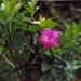Symbolanthus - Photo (c) Vilseskogen,  זכויות יוצרים חלקיות (CC BY-NC), uploaded by Lena Struwe